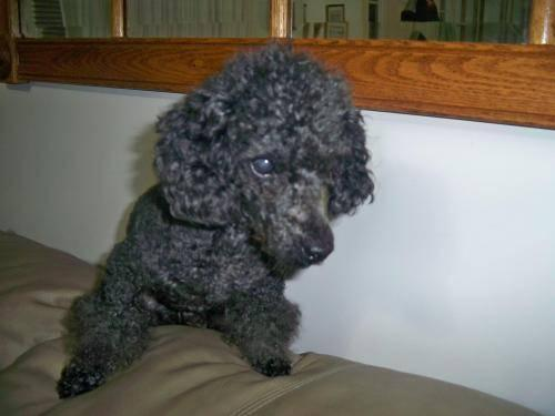 Poodle - Smokey Joe (blind) - Small - Senior - Male -