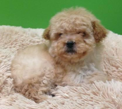 Poodle Mix Pets And Animals For Sale In Florida Puppy And
