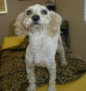 poodle   ziggy   kind and funny   small   adult   male