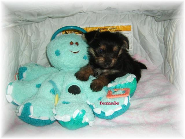 ~Porkie puppies~
