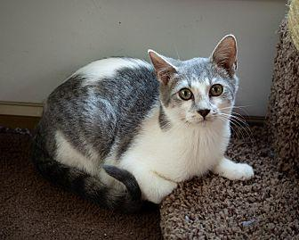 Portland Domestic Shorthair Kitten Female