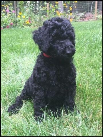 Portuguese Water Dog Poodle Cross Quot Portidoodle Quot For Sale