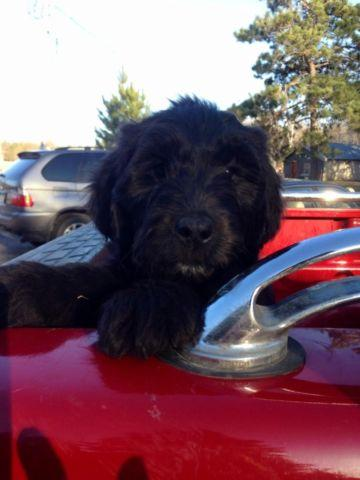 Portuguese Water Dogs For Sale In Mn