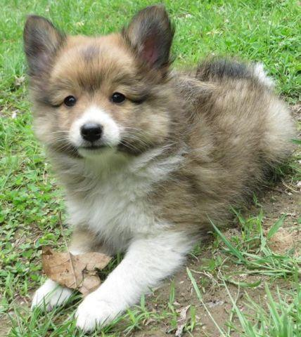Pomeranian Sheltie Mix 19 pins on pomeranians,