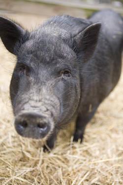 Pot Bellied - Jack Jack - Medium - Adult - Male - Pig