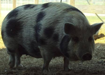 Pot Bellied - Maybelene - Medium - Adult - Female - Pig
