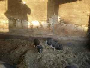 Pot Bellied pig babies - $25 (Stevinson)