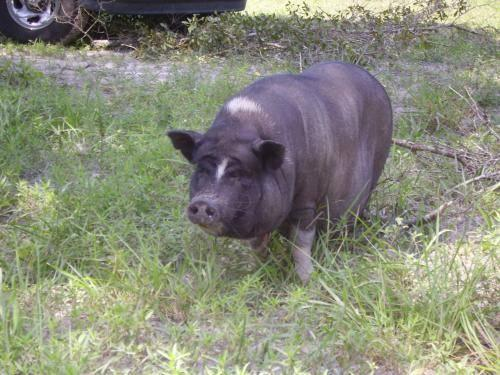 Pot Bellied - Teacup Pigs - Small - Baby - Female - Pig