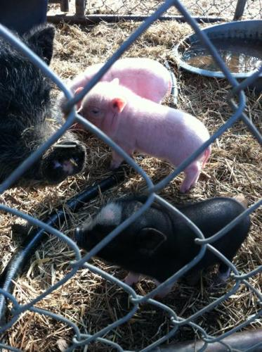 Pot Belly Miniature Pigs and Piglets