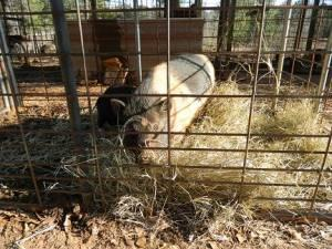 Pot Belly Pigs - $25 (Cusseta, AL)