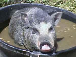 Potbelly Pigs tcup Potbelly Pigs - $200 (O'Neals)