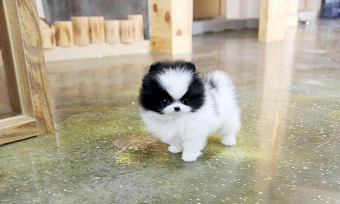 Potty Trained Pomeranian Puppies Ready For Adoption For