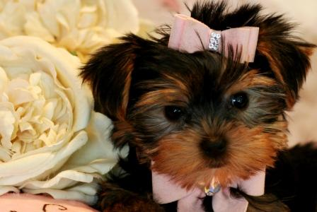 Potty trained Yorkie puppies available