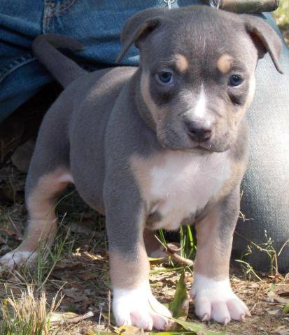 Pitbull For Sale In Mississippi Classifieds Buy And Sell In