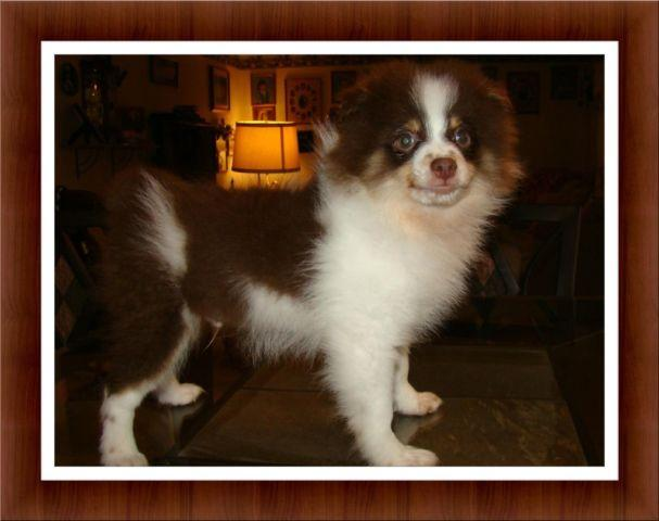 Precious 13 week old AKC Pomeranian Puppy! Male