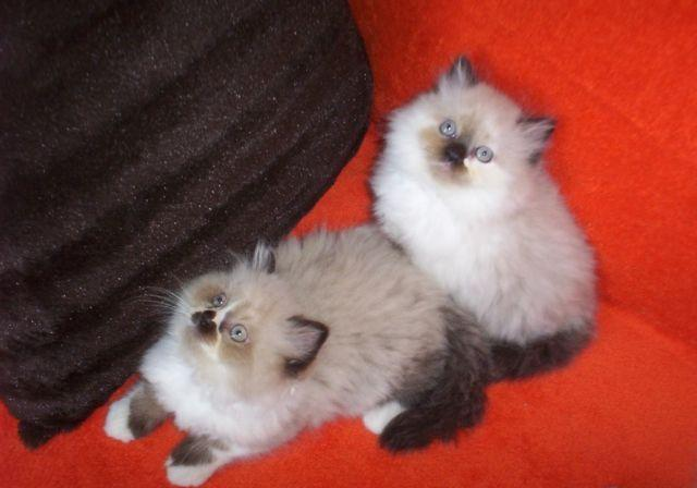 PRECIOUS EXTRA FLUFFY CFA REGISTERED HIMALAYAN KITTENS