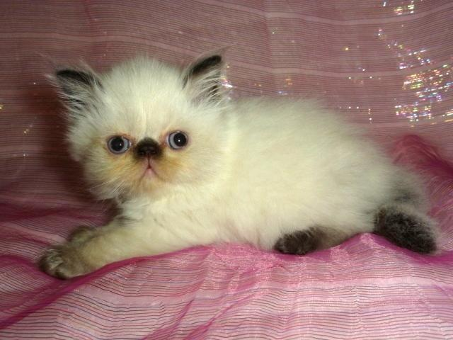 PRECIOUS GEMS PERSIANS HAS 3 BABY DOLL PERSIAN KITTENS AVAILABLE!