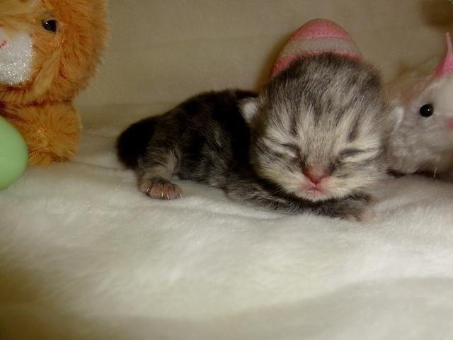 PRECIOUS GEMS PERSIANS IS EXPECTING NEW BABY DOLL PERSIAN KITTENS!