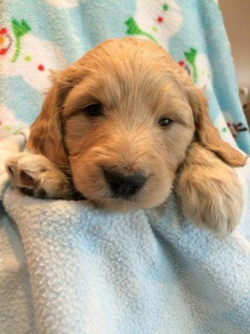 Precious Goldendoodle Puppies For Sale In Ontario
