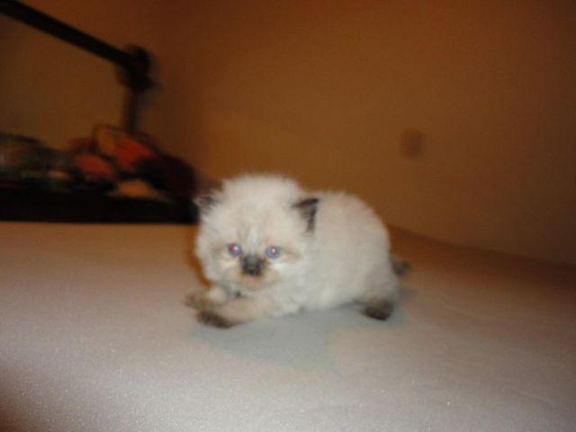 Precious Himalayan kittens for sale.
