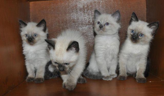 Precious Long Hair Siamese Balinese Kittens For Sale In