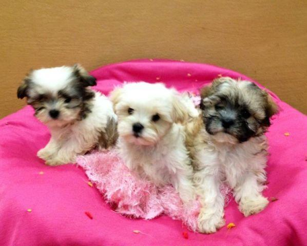 shih tzu breeders in virginia precious mal shih maltese shih tzu puppies for sale in 7082