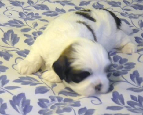 Precious Male Shih Tzu Adonis Puppy Wcare Package For Sale In