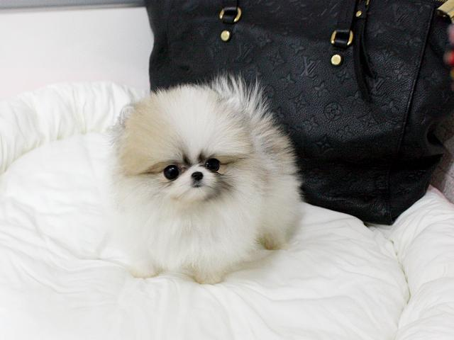 Precious Micro Teacup Pomeranian Puppies For Sale In Hartford