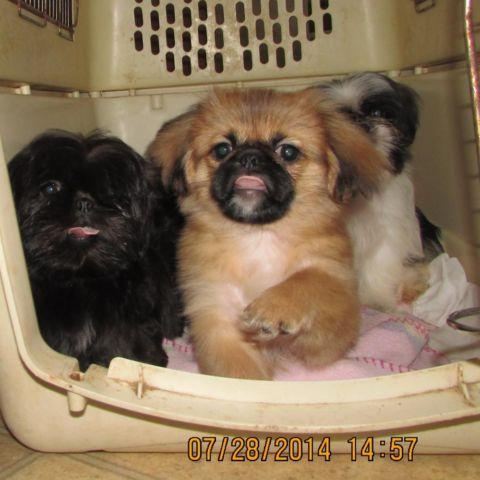 Precious Pekingese Shih Tzu Puppies For Sale In Jackson Tennessee