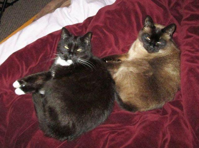 Precious Pure Breed Siamese And Tuxedo Cat Pair For