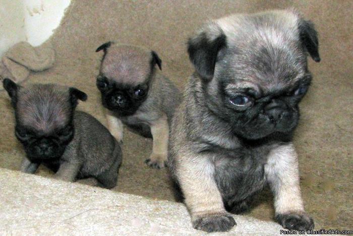 PRECIOUS PURE PUG PUPPIES