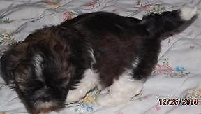 Precious Shih Tzu Female puppy-Ready on Jan 11th