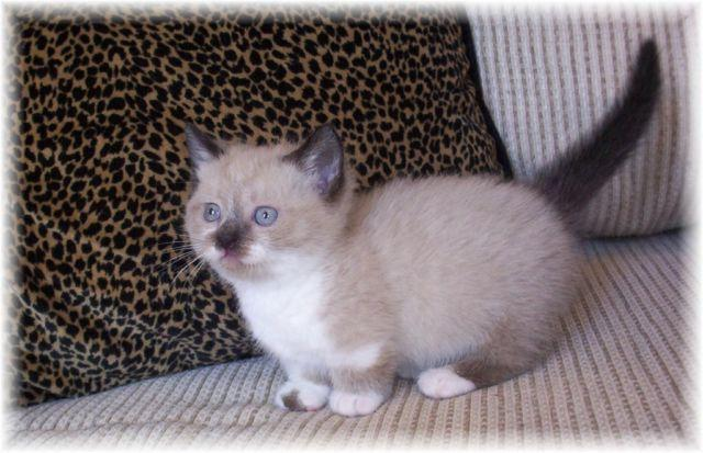 PRECIOUS UNIQUELY MARKED STANDARD MUNCHKIN/HIMALAYAN