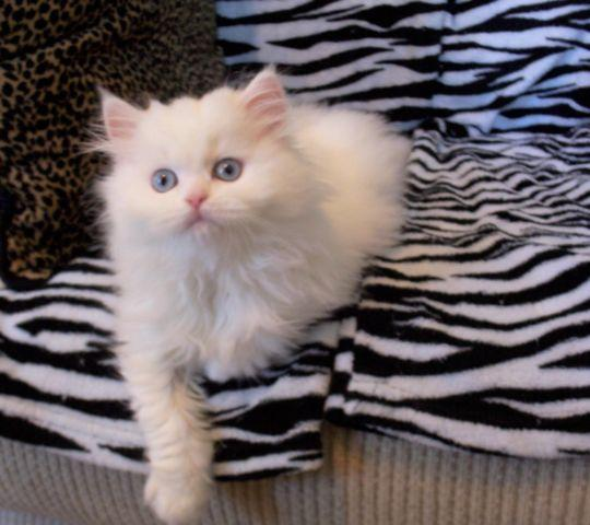 ~PRECIOUS WHITE BLUE EYED FEMALE PERSIAN NON-STANDARD