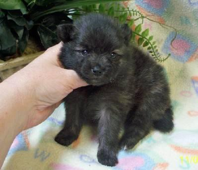 Pretty AKC Female Pomeranian Puppy - Brindle Parti -