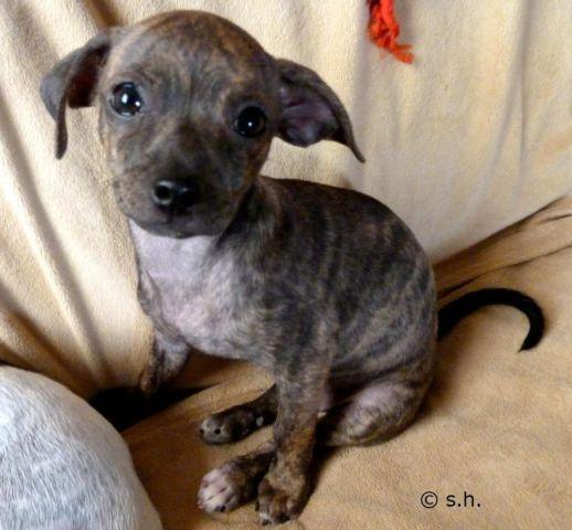 brindle chihuahua for sale pretty brindle chihuahua puppy female 10 weeks old for 3654