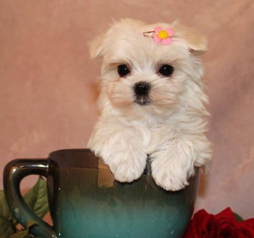pretty teacup yorkie puppy