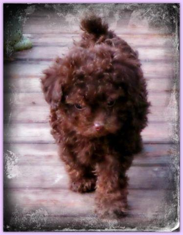 Price Drop Pick Of Litter Chocolate Tiny Toy Poodle