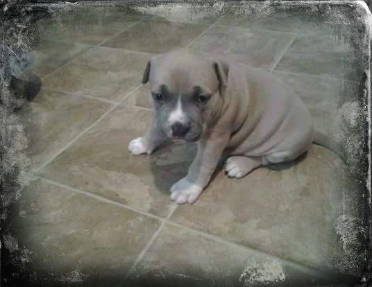 Price Drop Quality, Blue Fawn Male Pit Bull Puppy! Gotti, Razor's Edge