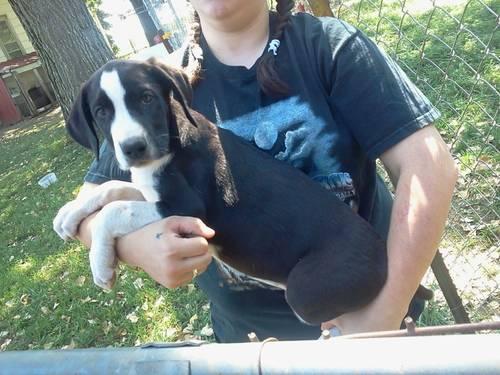 Saint Dane Puppies Price