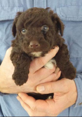 PRICE REDUCTION!!! Adorable Aussiedoodle (Aussiepoo)
