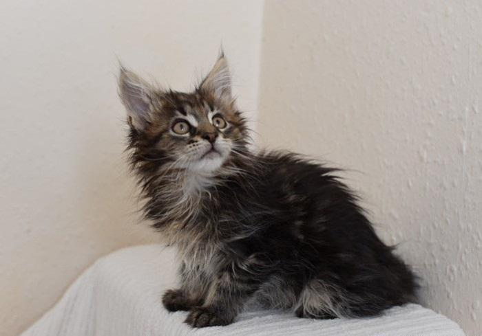 Priceless Maine Coon Kittens For Sale For Sale In Clover South Carolina Classified