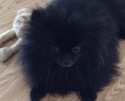 Pricless Black Male Pomeranian Puppy For Adoption for Sale ...