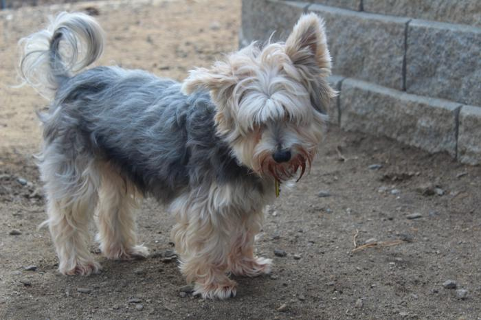 Prince In Nh Yorkshire Terrier Yorkie Adult Adoption Rescue For