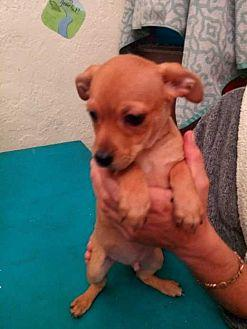 Pringle Puppies - Terra (Apple) Chihuahua Puppy Female