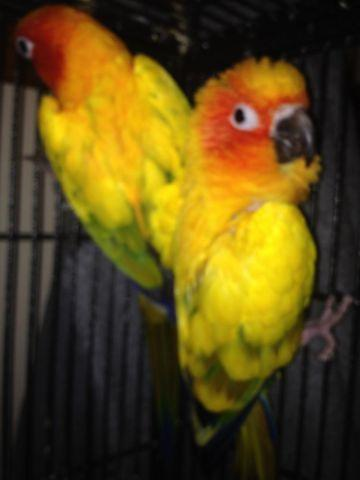 Proven Breeding Bonded Pair of Sun Conures