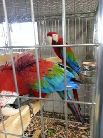 Proven Breeding Pair of Greenwing Macaws