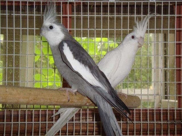 Proven Pair Cockatiels W/Cage