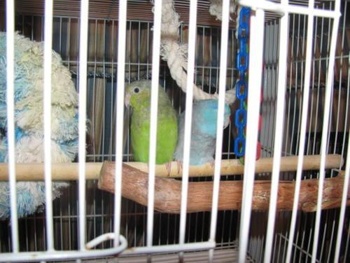 ** Proven Pair of Pacific Parrotlets** Must see**