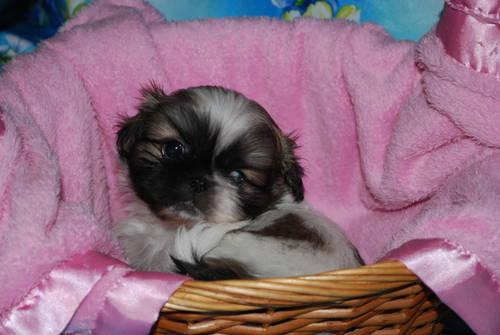 Puff the Pekingese Puppy